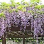 52104290 - 駒沢公園管理事務所前の藤
