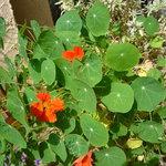 ウシマル - 食用のお花ナスタチュウムもあります