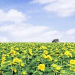 北海道牛乳カステラ - 広大なひまわり畑