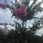 百日紅 - 庭の百日紅の花
