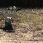 かつら - 豊かな自然(カラスアゲハの水場)