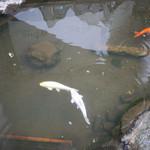 開運堂 - 開運堂本店横のパルコの池の鯉~☆(orange4話でちょっと登場)