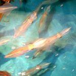 寅八商店 - 名物の烏賊が泳いでいます。