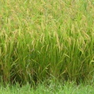 ◆シャリは自家製米コシヒカリを使用しております♪