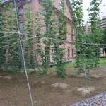 55929419 - 多年草ホップのつる、8~9mになる。