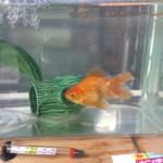 仁太郎 - 春のツツジ祭りですくった金魚さん❗️倍の大きさに育っていました❗️他の金魚さんは近くの鯉が飼ってある所に放したそうです❗️