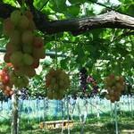 カラフルぶどう園 - 料理写真:一番はまった安芸クイーン