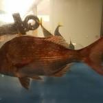 烏丸元気市場 - 水槽の鯛