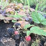 あるうのぱいん - 庭に何気庭にベリー   フルーツパフェに使われていた