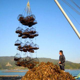 牡蠣ってこんな風に収穫しております!本物だけを提供