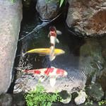 そば会席 立会川 吉田家 - 鯉が遊泳ちう。