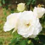 57784164 - 白バラ!!ヾ(≧▽≦)ノ