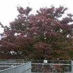 kaferesutorankihada - 一番見事な木です。