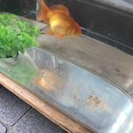仁太郎 - 娘が金魚すくいですくった金魚は一番元気良いね❗️一段と大きくなっていましたわ❗️