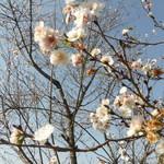 58781633 - 近くの天神下公園、11月初旬の桜(2016年11月7日)