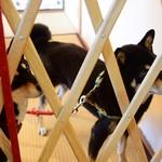 カフェ サラトテン - 看板犬