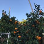 蒲郡オレンジパーク - みかんの木