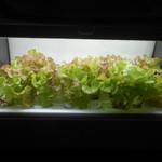 TANTO屋 - 店内で栽培されている、ミニレタス 2016.11