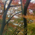 59652282 - シャトルバスから紅葉を楽しむ。こちらは今が盛りかな。