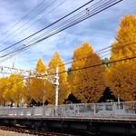 59741896 - 参宮橋駅の踏切から見た銀杏並木