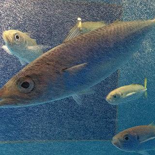 生け簀直卓の活鯖に、日本一種類豊富な鯖料理