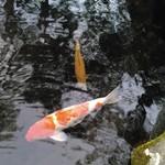 磯揚げまる天 - その他写真:おまけ3:池の中の鯉。たくさんいますよ(^^)