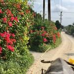 61162516 - 至る所にハイビスカスが咲いております。