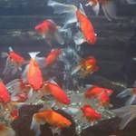 61377884 - 大きな水槽には金魚が泳いでいます