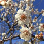 瑞雪 - 羽根木公園の梅は見頃です