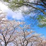 長右衛門 - 京都の桜観光の際に是非、お立ち寄り下さい♪