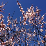 アンモナイト - 青空に映える薄紅の梅