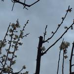 みのかん - 梅の花。