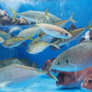 糸島半島、野北漁港から直送された新鮮活魚