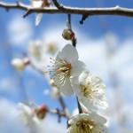 Sunainosato - 梅林の梅