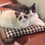猫カフェ らぶねこ - ニューフェイスのウィンとリリー