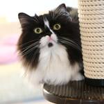 猫カフェ らぶねこ - カリン♀