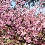 里見茶屋 - 桜へ