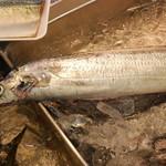小田原さかなセンター - 20170315、今日は釣り魚の太刀魚が入りました。