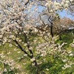 大山屋 - フラワーパーク寒桜