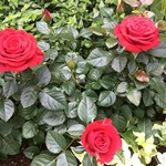 大山屋 - 温室内 バラ