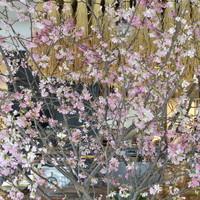 ブラウンライス - 店内で桜をみながらお食事はいかがですか?