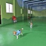 ビクトリー - 屋内ドッグランで遊ぶ看板犬1号トレジャーと2号チャップ♪