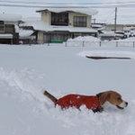 ビクトリー - トレジャーが雪をラッセル…(笑)