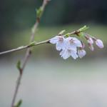 64609910 - 隅田川(すみだがは)の櫻花(さくら)