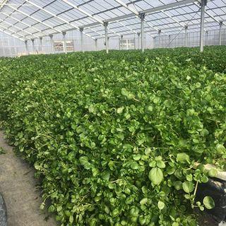 広島の農園直送の新鮮野菜と尾道レモン谷のノーワックスレモン!