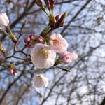 そば舎 あお - 桜が咲いてきました!
