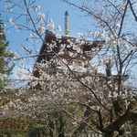 64899387 - 成田山公園のサクラ