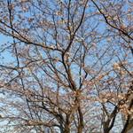 洋菓子工房 queue - 8分咲き位のアテクシ家前の桜♡