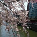 64993768 - 目黒川の桜