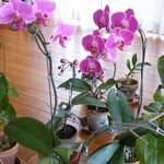 クリケット - 胡蝶蘭が20鉢ほど  自家栽培です